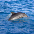 Dolphin in the sea — ストック写真 #15541605