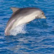 Dolphin in the sea — Stock Photo #15541687