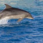 delfiner i havet — Stockfoto