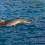 Delfin w morzu — Zdjęcie stockowe