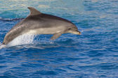 Dolphin in the sea — Stock Photo