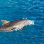 Delfin na morzu — Zdjęcie stockowe