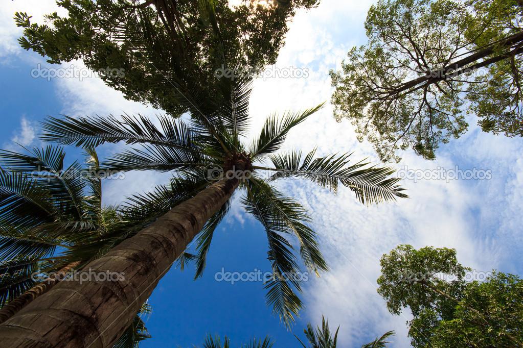 在普吉岛泰国椰子树— 照片作者 netfalls