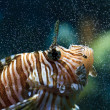 Lionfish (Pterois mombasae) - Stock Photo