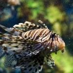 Lionfish (Pterois mombasae) — Stock Photo