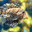 Lionfish (Pterois mombasae) — Stock Photo