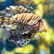 Stock Photo: Lionfish (Pterois mombasae)