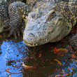 Crocodiles in water — Stock Photo
