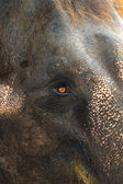 Asia elephant portrait — Stock Photo