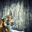 Tiger against the wall - Foto Stock