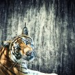 Tiger against the wall - Stock Photo