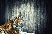 Tiger against the wall — Stock Photo