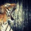 Tiger against grunge wall - Stock Photo