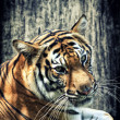 Tiger against grunge wall — Stock Photo