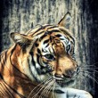 Tiger against grunge wall - Stockfoto