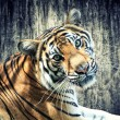 Tiger against grunge wall — Stock Photo #21195763