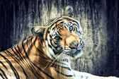 Tiger against grunge wall — Foto de Stock