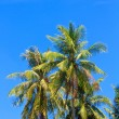Coconut tree in Phuket Thailand - Stock Photo