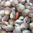 Sea shells clams - Stock Photo
