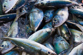 Chub mackerels, sea fish — Stock Photo