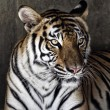 Portrait of a beautiful tiger - Stock Photo