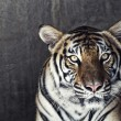 Stock Photo: Portrait of a beautiful tiger