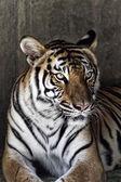 Retrato de un hermoso tigre — Foto de Stock