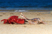 Two crabs at the beach — Stock Photo