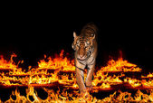 Tiger in Blazing flames — Stock Photo