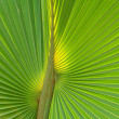 Green palm tree leaf - Stock Photo