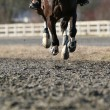 Galloping horse close up - Stock Photo