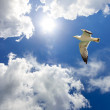 Seagull in flight - Stock Photo