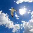 Seagull in flight - 图库照片