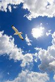 Seagull in flight — Stock Photo