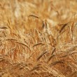 Ripe yellow ears of wheat — Stock Photo #26450851