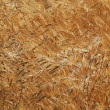 Ripe yellow ears of wheat — Stock Photo #26450907