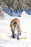 Monkey at the beach in Koh Phi Phi — Stockfoto