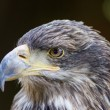 Portrait of a falcon — Stock Photo #42376405