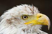 An American bald eagle — Stock Photo
