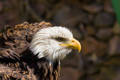 An American bald eagle — Stock Photo