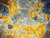 Xanthoria parietina lichen growing on stone. — Stock Photo