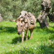 Donkey in Olive tree orchard — Stock Photo #43627601