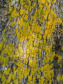 Grunge Style Vertical Wood surface with Yellow fungus — Stock Photo