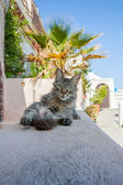 Cat relaxing in Thira — Stock Photo