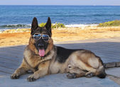 Dog with glasses — Stock Photo