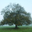 Tree in mist - Stock Photo