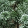 Pine needles in winter — Stock Photo