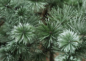 Pine needles in winter — 图库照片