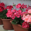 Geranium in pots — Stock Photo