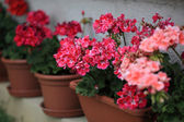 Geranium in pots — Stockfoto